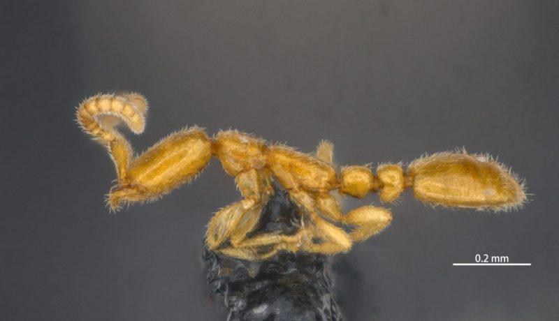 Finding Leptanilla macauensis
