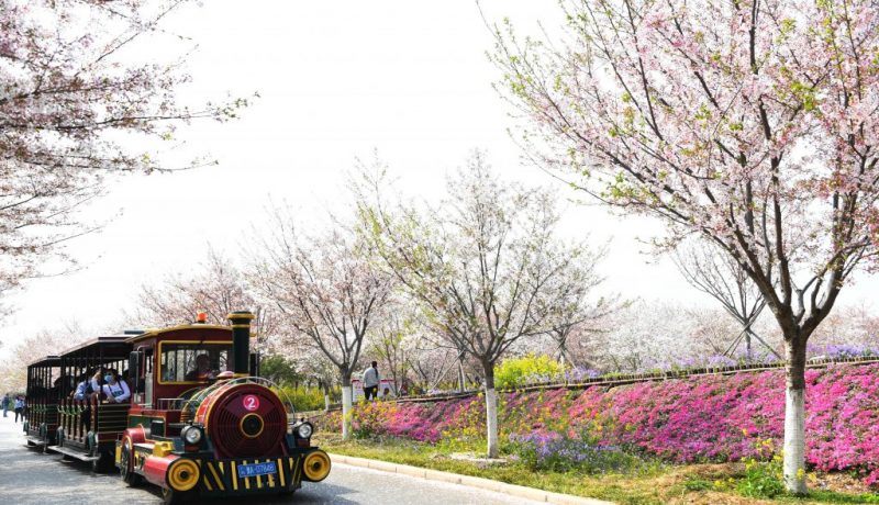 CHINA-HENAN-SPRING-CHERRY BLOSSOMS (CN)