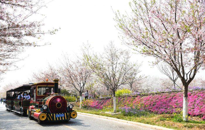 CHINA-HENAN-SPRING-CHERRY BLOSSOMS (CN)