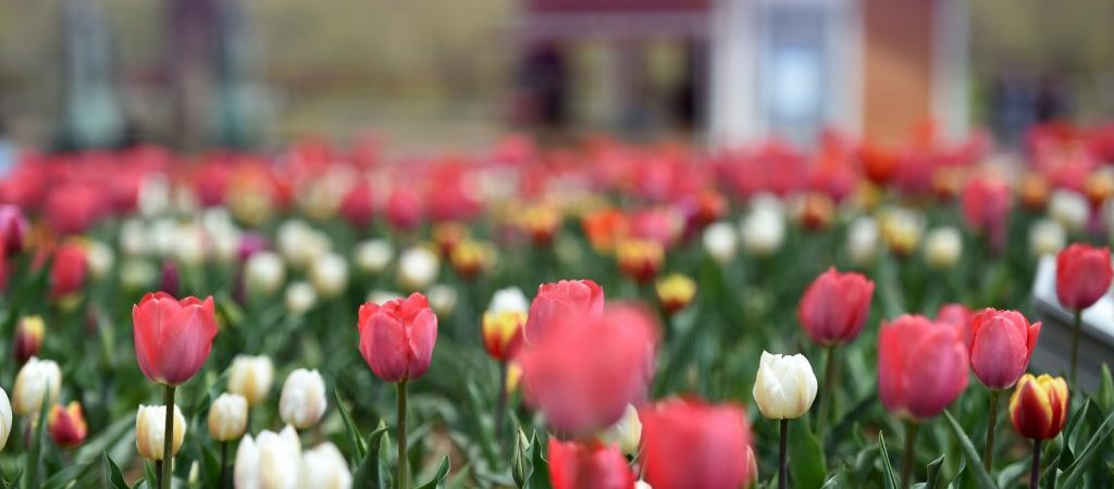 CHINA-GANSU-YONGJING-TULIPS (CN)