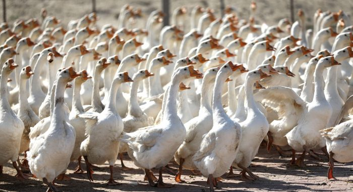 CHINA-LIAONING-GOOSE BREEDING INDUSTRY (CN)
