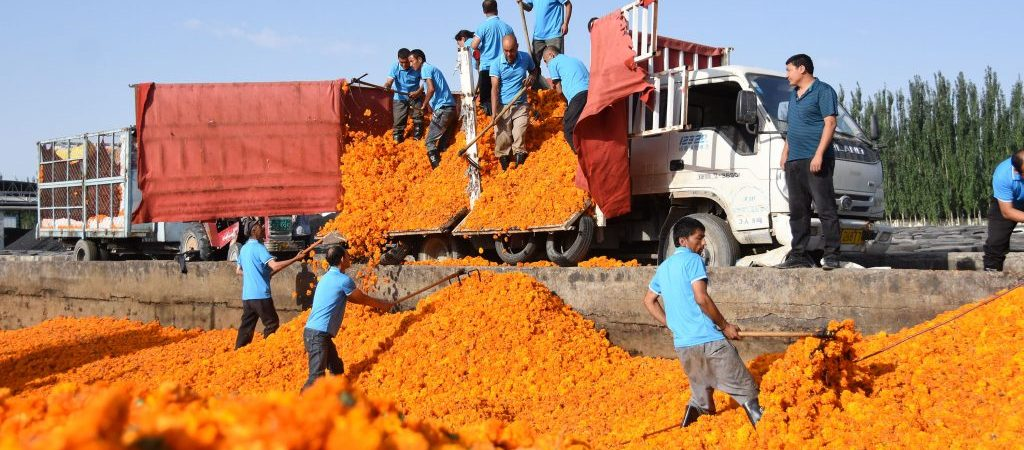CHINA-XINJIANG-SHACHE-POVERTY ALLEVIATION-MARIGOLD (CN)