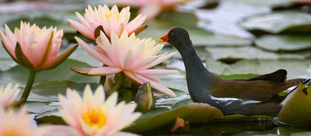 CHINA-GUIYANG-WATERBIRDS-LOTUS (CN)