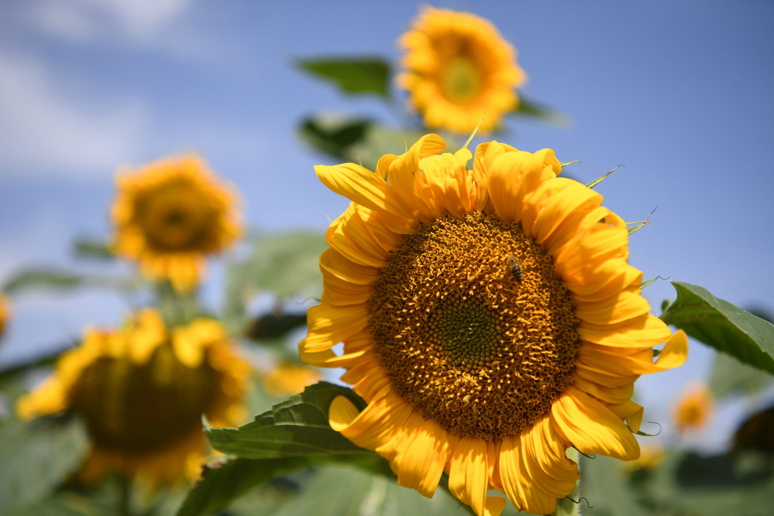 CHINA-GANSU-BAIYIN-SUNFLOWER (CN)