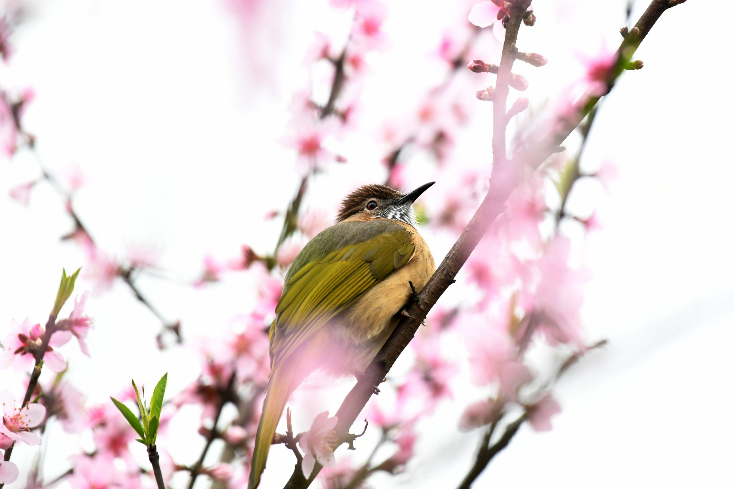 #CHINA-SPRING-BIRD(CN)