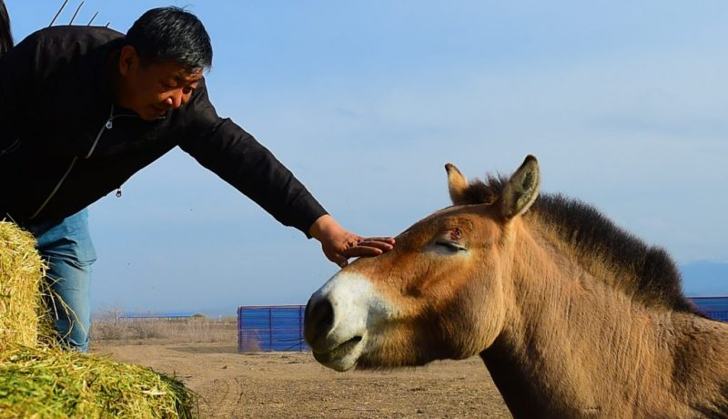 CHINA-XINJIANG-JIMSAR-PRZEWALSKI'S HORSES-BREEDING AND RESEARCH CENTER-STAFF (CN)