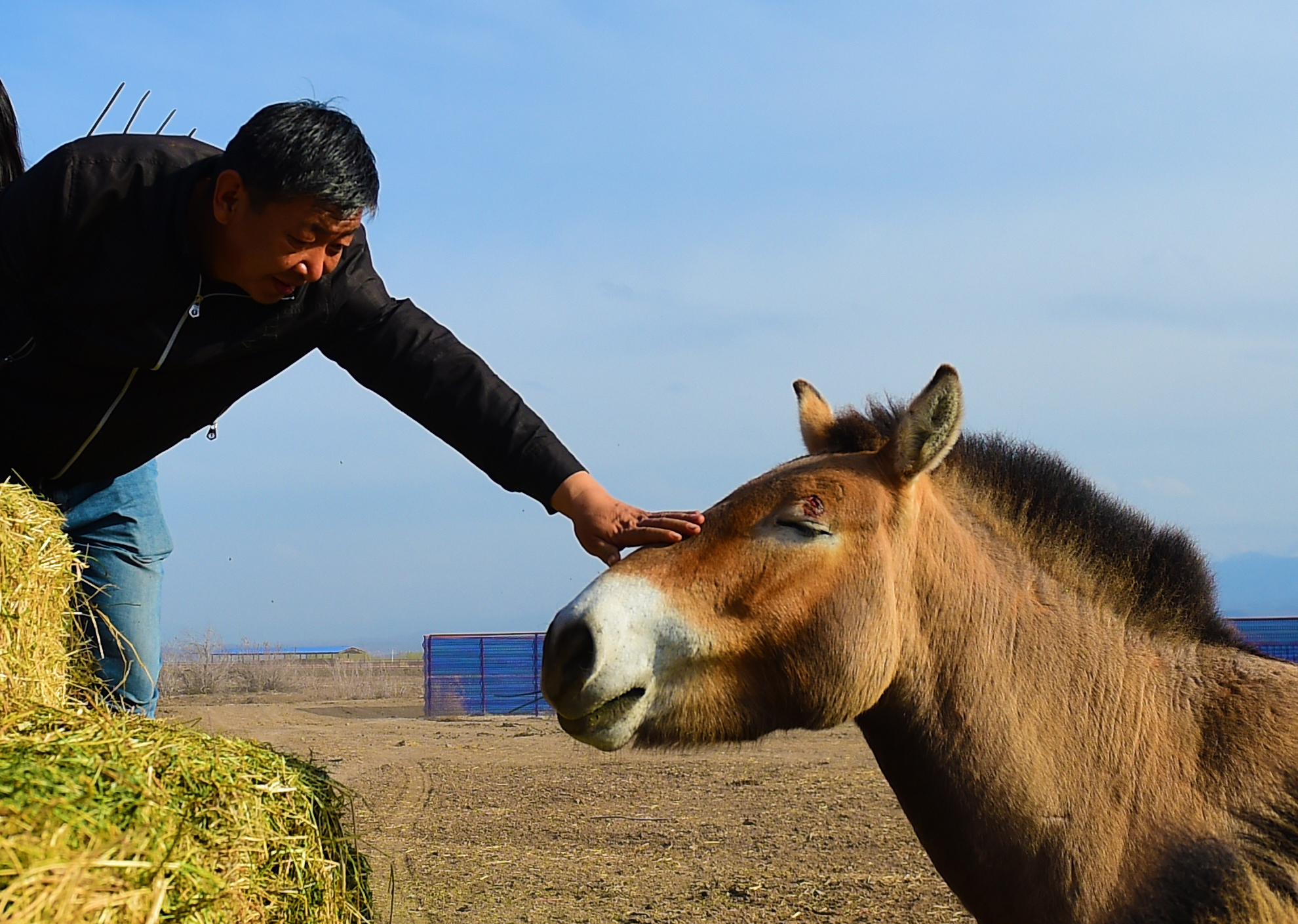 CHINA-XINJIANG-JIMSAR-PRZEWALSKI'S HORSES-BREEDING AND RESEARCH CENTER-STAFF (CN)