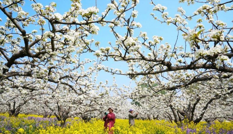 CHINA-HEBEI-FARMING-ORCHARD-POLLINATION (CN)